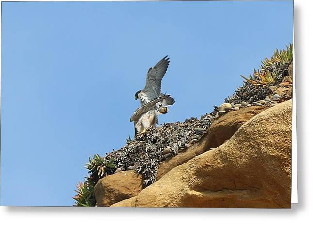 Peregrine Falcons - 3 Greeting Card