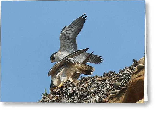 Peregrine Falcons - 4 Greeting Card