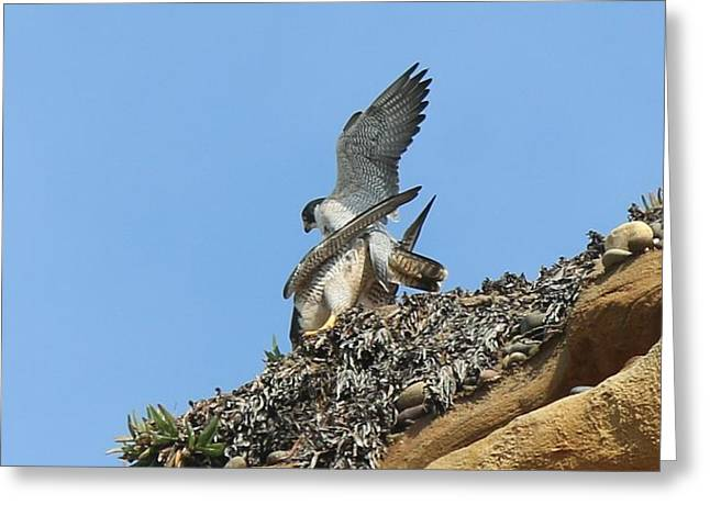 Peregrine Falcons - 5 Greeting Card