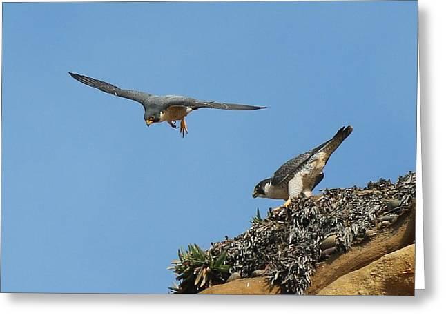 Peregrine Falcons - 6  Greeting Card