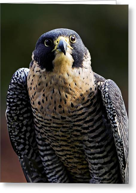 Peregrine Focus Greeting Card