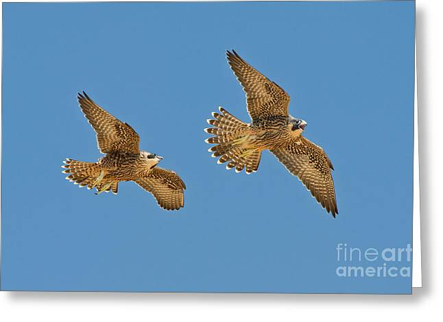 Peregrine Siblings Chasing Each Other Greeting Card by Anthony Mercieca