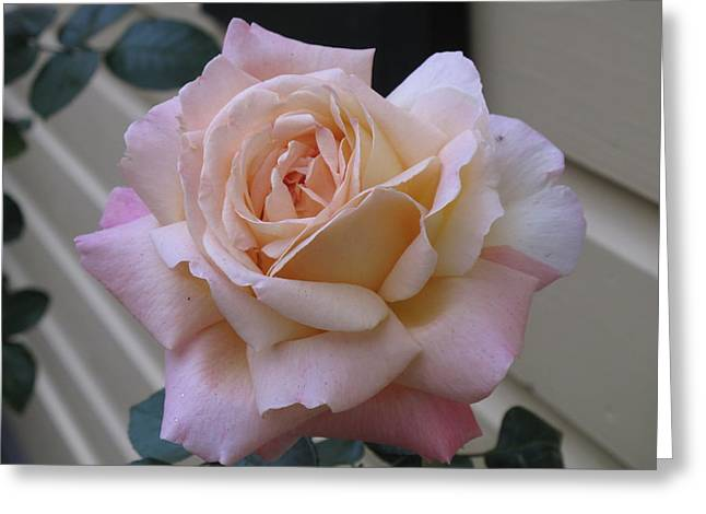 Perfect Blushing October Rose Greeting Card