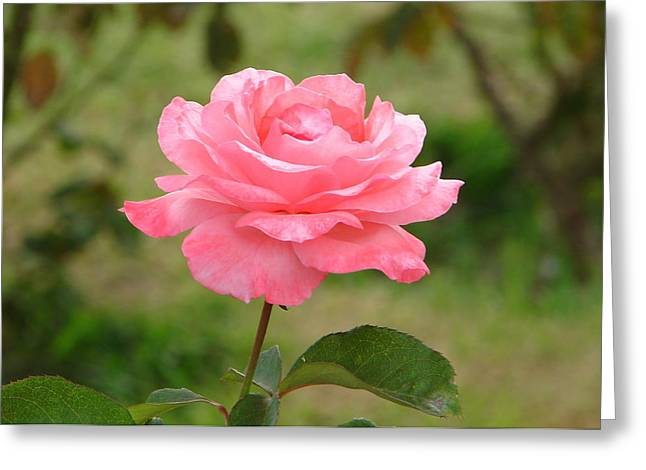 Greeting Card featuring the photograph Perfect In Pink by Lew Davis