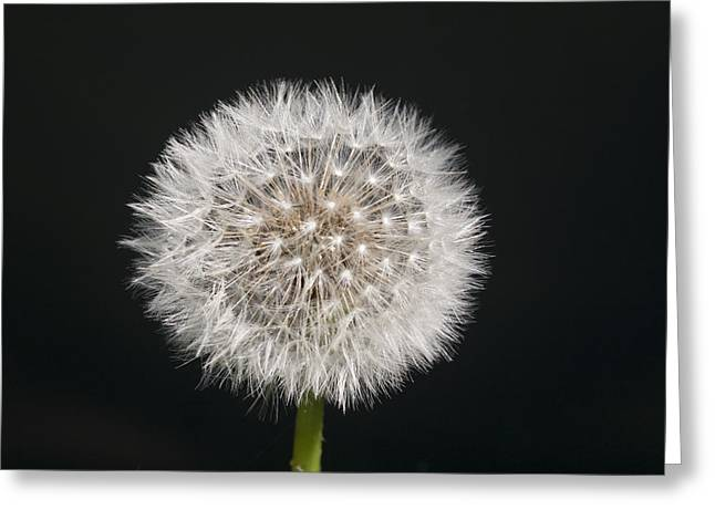 Perfect Puffball Greeting Card