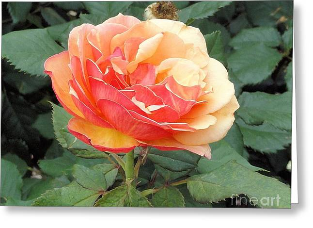 Greeting Card featuring the photograph Perfect Rose by Janette Boyd