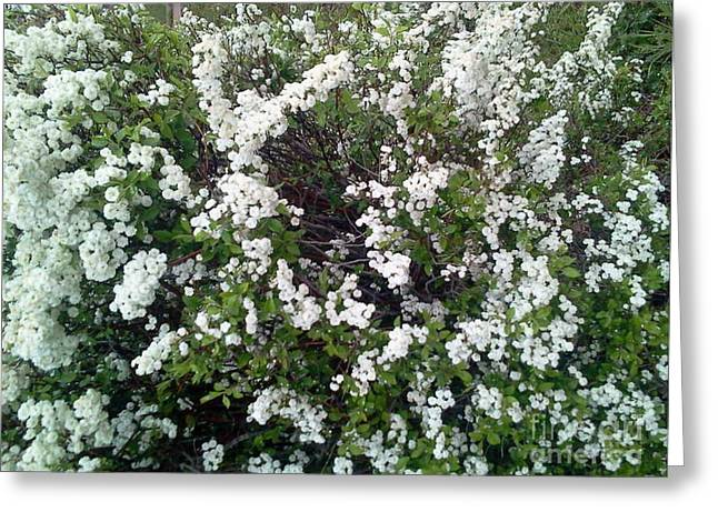 Perfect White Spring Blossoms Greeting Card by PainterArtist FIN
