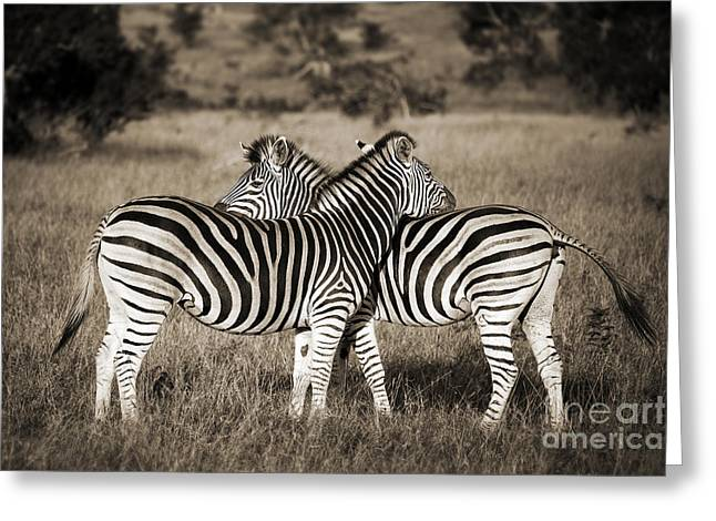 Perfect Zebras Greeting Card by Delphimages Photo Creations