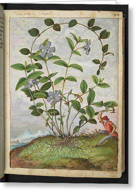Periwinkle (vinca Minor) Greeting Card by British Library