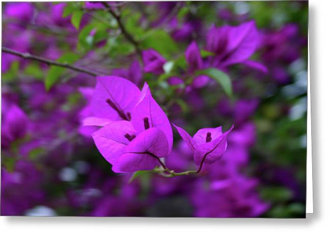 Perple Leafs Greeting Card by Frederico Borges