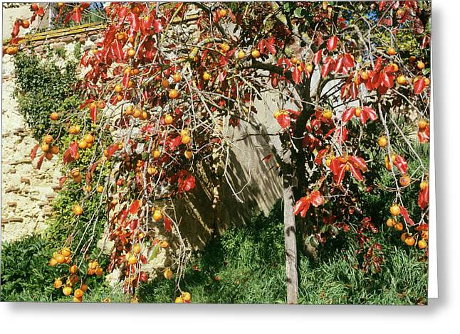 Persimmon Tree With Fruit Greeting Card by Mark De Fraeye/science Photo Library