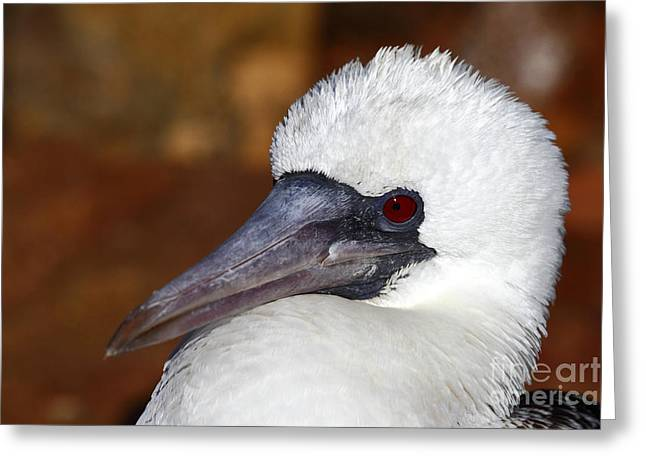 Peruvian Booby Portrait Greeting Card