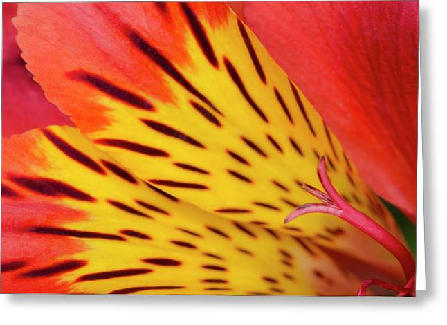 Peruvian Lily Abstract Greeting Card by Nigel Downer