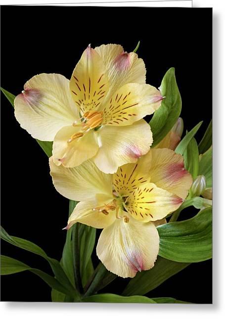 Peruvian Lily (alstroemeria X Hybrida) Greeting Card