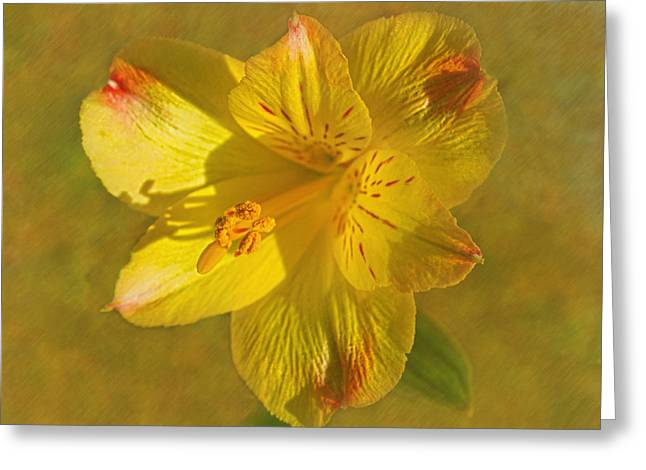 Peruvian Lily Greeting Card by Sandi OReilly