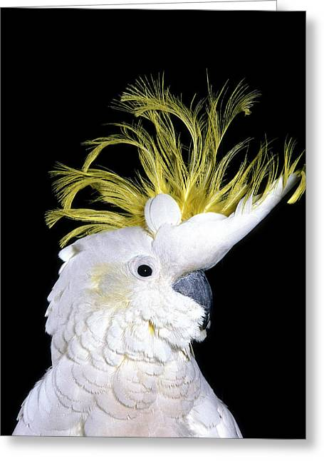 Petit Cacatoes A Huppe Jaune Cacatua Greeting Card
