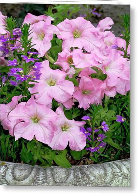 Petunia X Hybrida 'pink Lady' Greeting Card by Brian Gadsby/science Photo Library