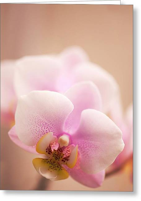 Phalaenopsis 'nobby's Army' Flowers Greeting Card by Maria Mosolova