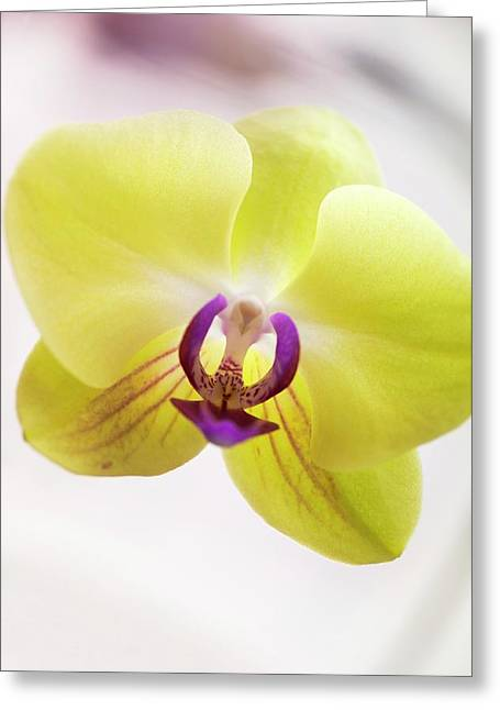 Phalaenopsis Orchid Flower Greeting Card by Maria Mosolova