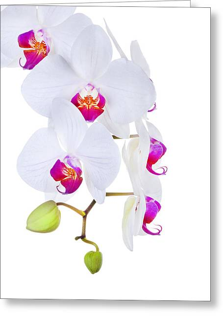Phalaenopsis Orchids Against White Background Greeting Card by Robert Jensen