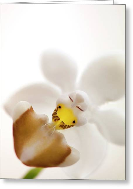 Phalaenopsis Parishii Var. Lobii Flower Greeting Card by Maria Mosolova