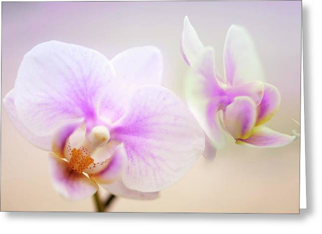 Phalaenopsis 'sweetheart' Orchid Flowers Greeting Card by Maria Mosolova