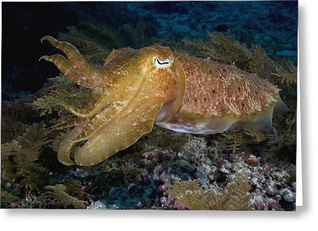 Pharaoh Cuttlefish Lombok Indonesia Greeting Card by Dray van Beeck