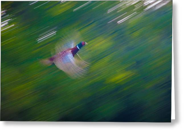 Pheasant Flight Greeting Card by Rob Hemphill