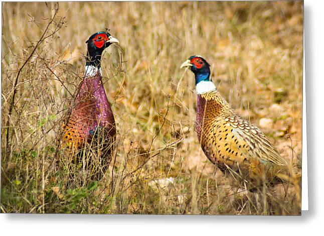 Pheasant Friends Greeting Card