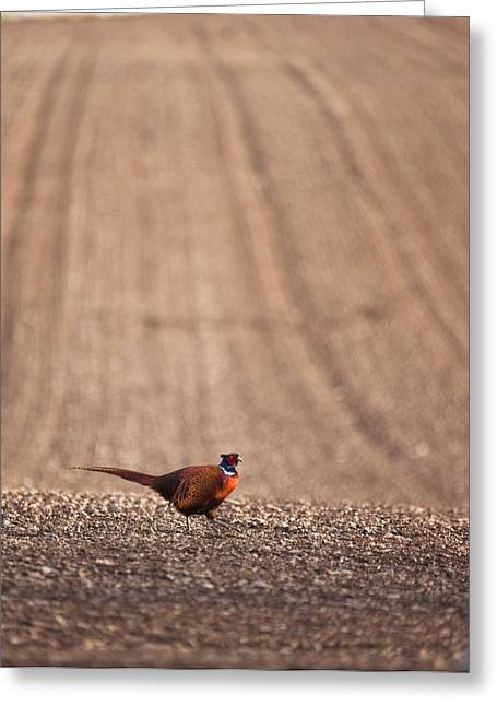 Pheasant Standing On The Ground Greeting Card