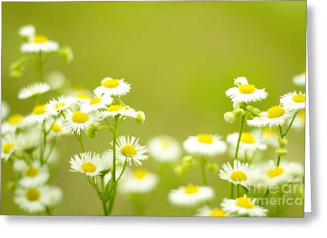 Philadelphia Fleabane Wildflowers In Soft Focus Greeting Card