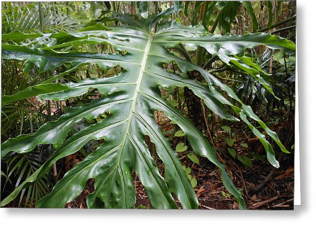 Split Leaf Philodendron  Greeting Card by Kay Gilley
