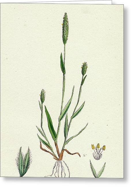 Phleum Arenarium Sand Timothy-grass Greeting Card