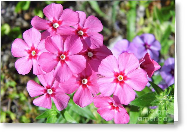 Greeting Card featuring the photograph Phlox Beside The Road by D Hackett