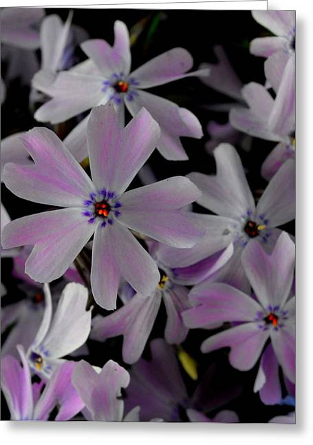 Phlox- Limited Edition 1 Of 10 Greeting Card