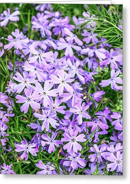 Phlox Subulata 'blue Eyes' Flowers Greeting Card by Brian Gadsby
