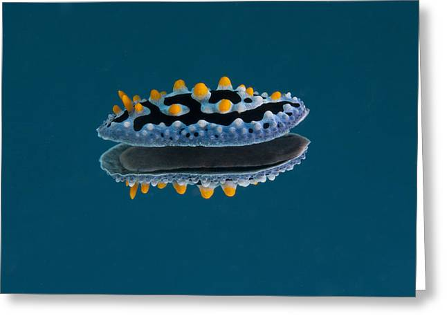 Phyllidia Coelestis Nudibranch On Blue Greeting Card by Terry Moore