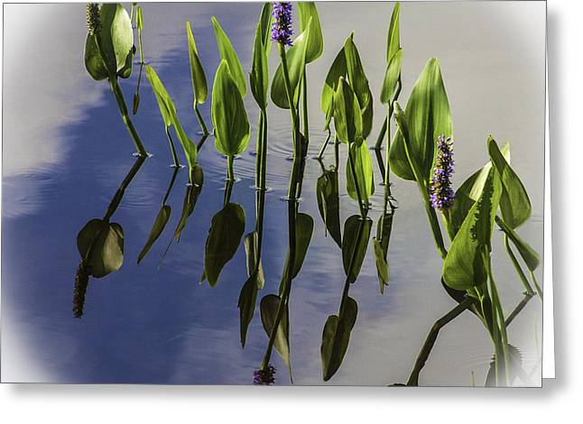 Pickerel Weed Vignetted In White Greeting Card by Karen Stephenson