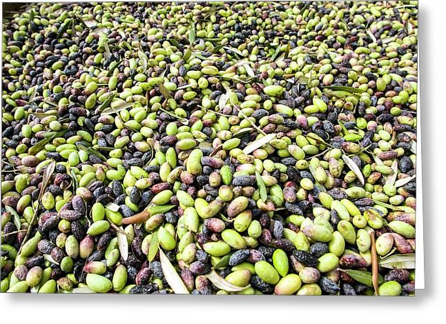 Picking Olives Greeting Card