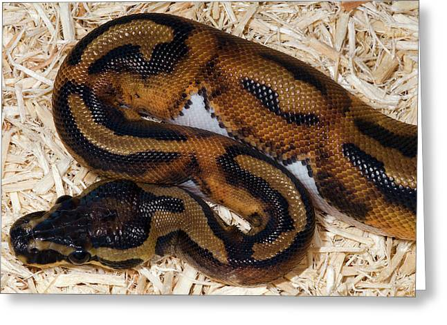 Piebald Royal Python Greeting Card by Nigel Downer