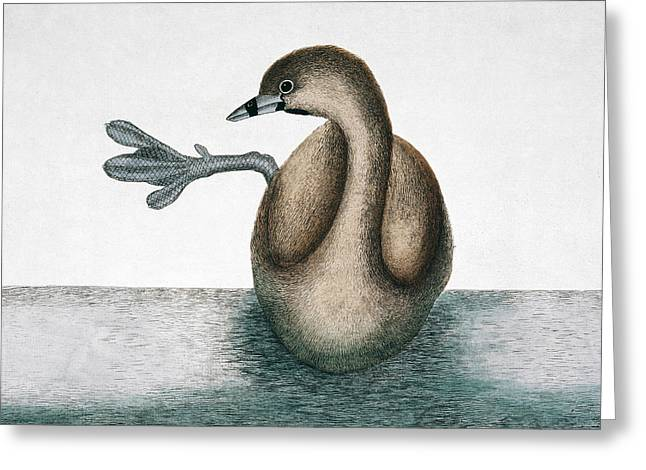 Pied-billed Grebe Greeting Card by Natural History Museum, London