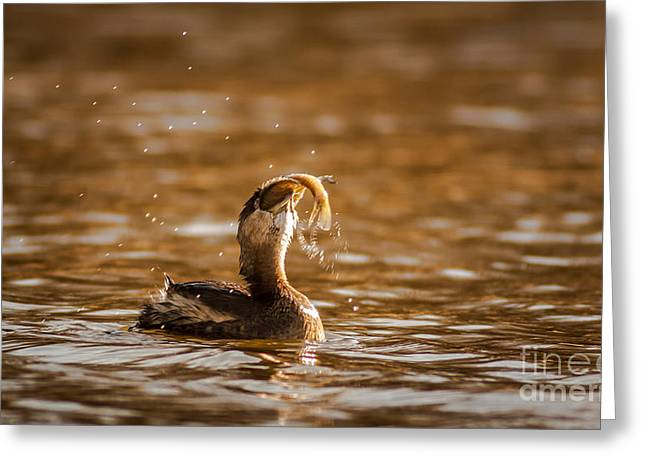 Pied-billed Grebe With Brim Greeting Card by Robert Frederick