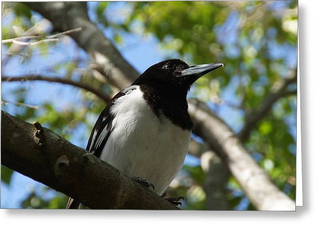 Pied Butcher Bird Greeting Card by Dani Katz
