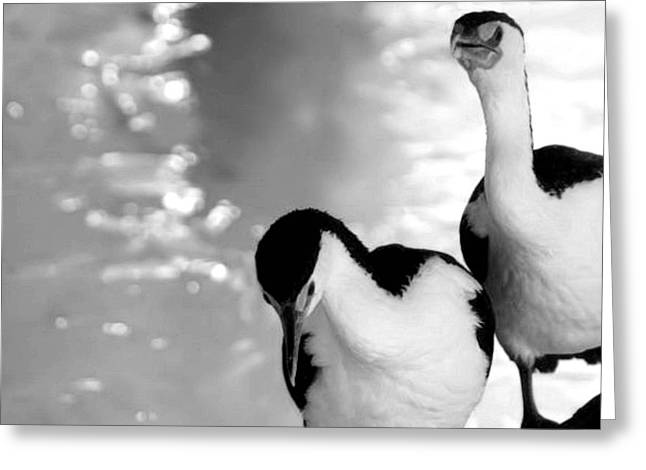 Pied Cormorants Greeting Card