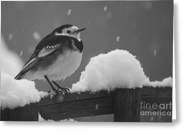 Pied Wagtail In The Snow Greeting Card