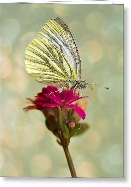 Pieris Napi Butterfly On A Small Red Flower Greeting Card by Jaroslaw Blaminsky