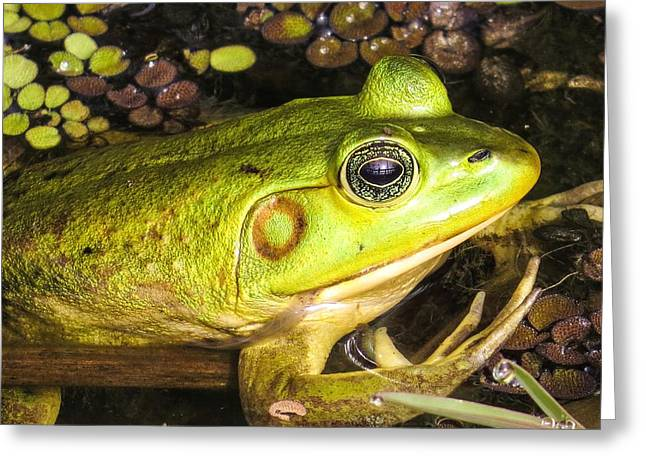 Pig Frog Greeting Card by Zina Stromberg