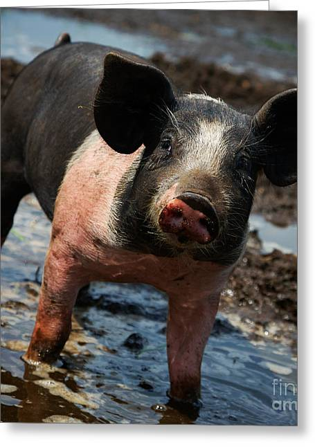 Pig In The Mud Greeting Card