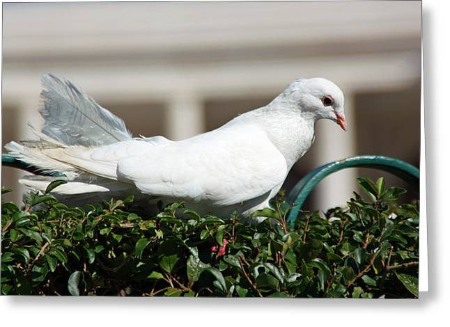 Pigeon Greeting Card by Dave Dos Santos