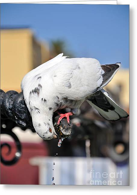 Pigeon Drinking Water At The City Of Rhodes Greeting Card by George Atsametakis